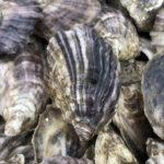 Bombazine oyster